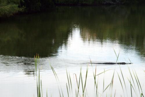 Alligator2crop